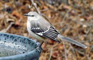 Spotlijster Door bobistraveling - Charlie MockingBird Parker Backyard Birds Cary NC 0816 Uploaded by Snowmanradio, CC BY 2.0
