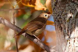 De heremietlijster, nationale vogel van de staat Vermont