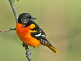 Wisconsin staatsvogel : het roodborstje
